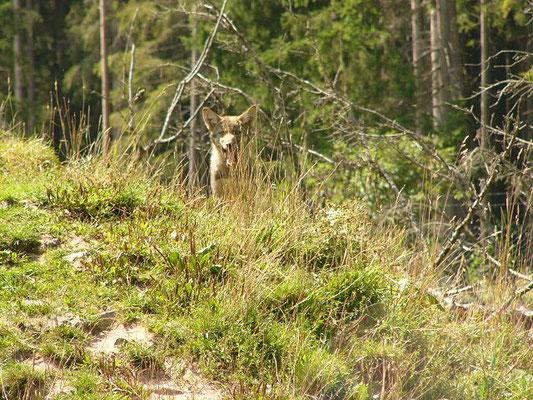 Ein Wolf im Wildpark Baden-Württemberg 2005