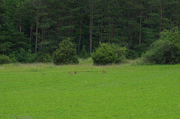 Hasenhochzeit: Während der Paarungszeit, kommt es zu regelrechten Hasenaufläufen.