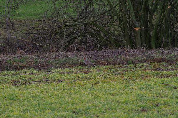 Auch hier sind zwei Rebhühner zu sehen, in der Mitte der Hahn, links die Henne!