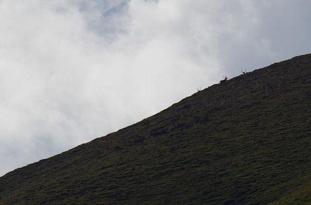 Neben dem Kahlwildrudel war auf der Hochfläche gelegentlich noch ein Hirsch-Rudel zu sehen.