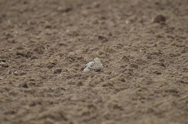 Im Herbst und Frühjahr drücken sich Rebhühner in die Ackerfurchen.
