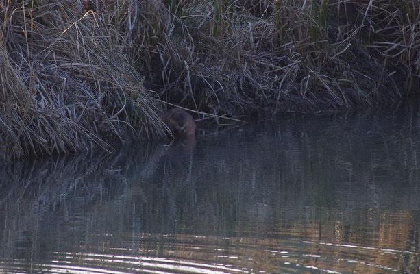 ... weshalb sie sie bei Teichbesitzern nicht beliebt sind. Im Gegensatz zum Biber dürfen sie verfolgt werden.