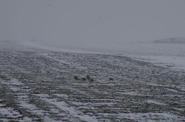 Besonders bei Schnee sind Rebhühner in der ausgeräumten Feldflur nicht nur für Fressfeinde aus der Luft eine leichte Beute.