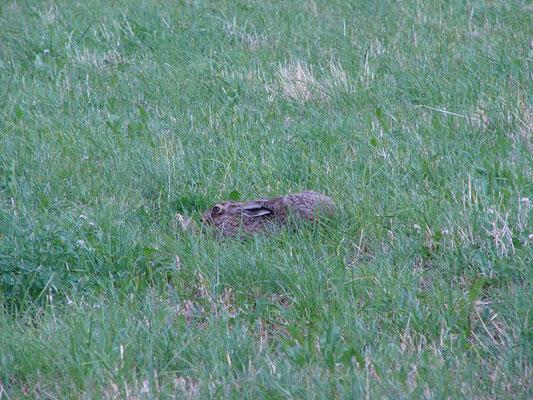 """Notfalls legt der Hase die """"Ohren an"""" und macht sich platt, er """"drückt sich"""", um nicht gesehen zu werden!"""