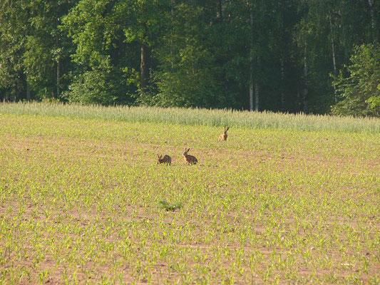 """Die männlichen Hasen, die """"Rammler"""", wollen die Häsinnen begatten."""