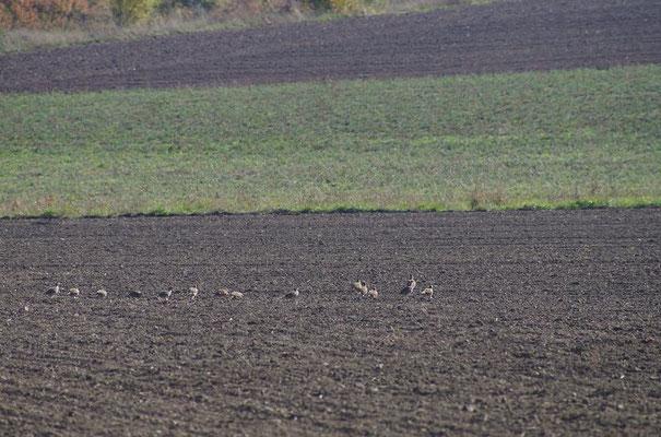 Rebhühner sind in ihrem Bestand stark zurück gegangen und gefährdet,