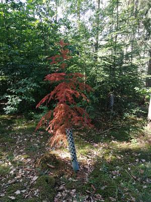 Auch wenn die andere Verjüngung noch steht: Dieser Nadelbaum hat sich verabschiedet!