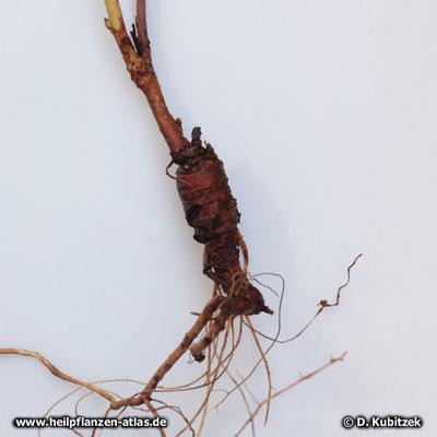 Süßholzwurzel (Glycyrrhiza glabra), die Wurzel