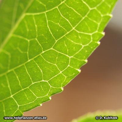 Der Blattrand der Passionsblume (Passiflora incarnata) ist gesägt