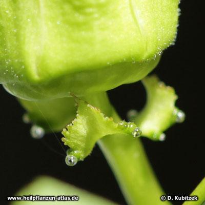 Passionsblume (Passiflora incarnata): Unterhalb der Knospe oder Blüte sitzen drei kleine Hochblätter, die Drüsen tragen.
