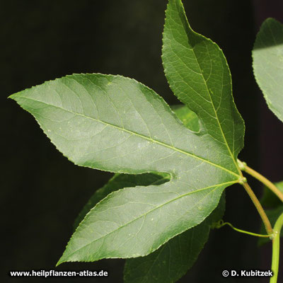 Passionsblume (Passiflora incarnata), dreilappiges Blatt