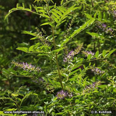 Süßholzwurzel (Glycyrrhiza glabra)