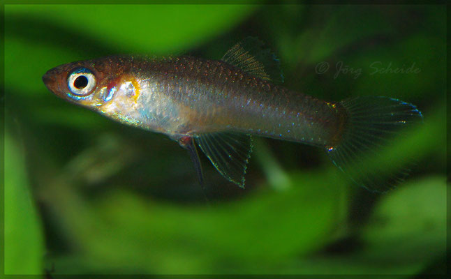 Priapichthys nigroventralis Geburt