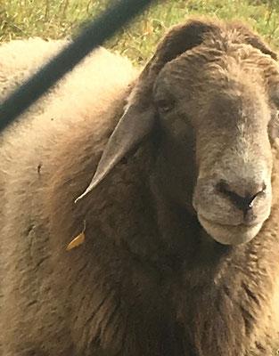 die Metzgerei Eckart führt frisches Eifel-Lamm und junges Kaninchen vom Putzhof