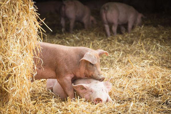 Ruhrtaler Freilandschweine behalten ihren Ringelschwanz