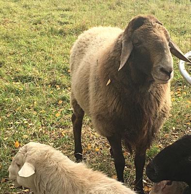 die Fleischerei Eckart bietet frisches Eifel Lamm
