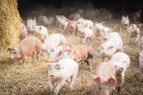 Schweinegalopp - viel Platz und Bewegung haben die Ruhrtaler Freilandschweine