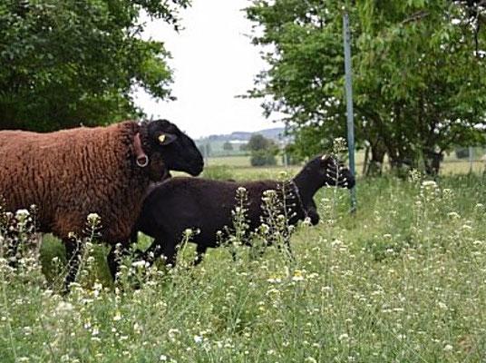 eigene Schlachtung und Zerlegung von Eifel Lamm und Kaninchen auf dem Pützhof