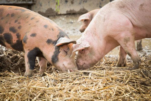 Ruhrtaler Freilandschwein - ganzjährig draußen