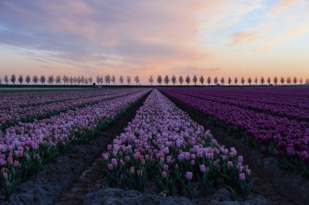 Goeree Overflakkee Netherlands Tulips Tulpen Bollenveld Sunset landscape