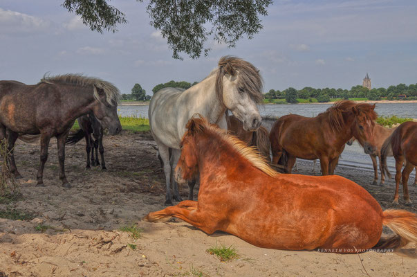 The Netherlands Sleeuwijk Wild Horses Konicks Paarden