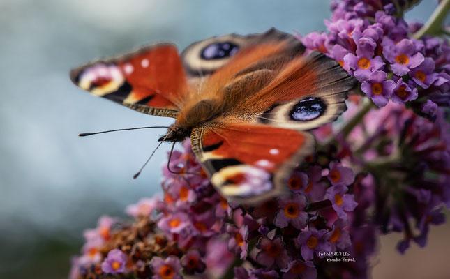 Essend auf Schmetterlingsflieder