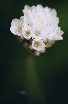 Weiße Grasnelke