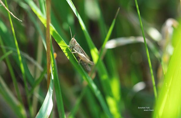 Grashüfer im Gras