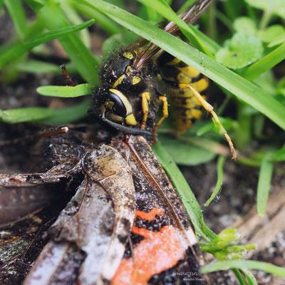 Wespe zerlegt toten Tagfalter