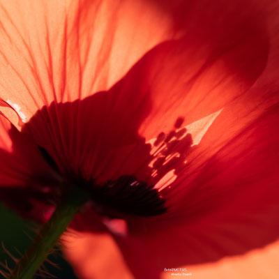 Schatten durch Mohnblüte