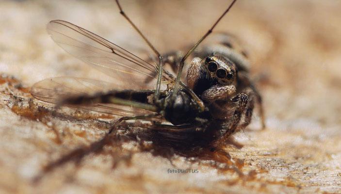 Zebraspringspinne frisst eine Mücke