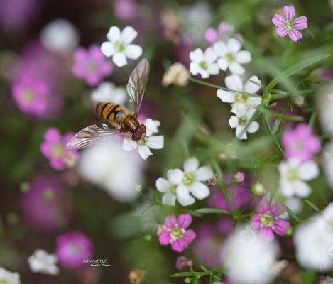 Späte Frühlingsschwebfliege auf Schleierkraut
