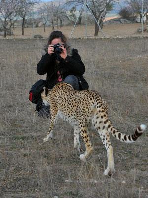 laufender Gepard wird von mir fotografiert
