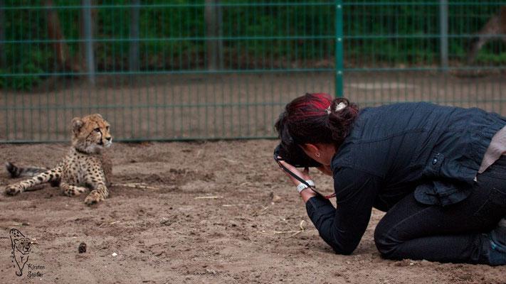 Gepard wird fotografiert
