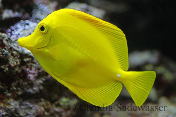 Zitronenflossen-Doktorfisch