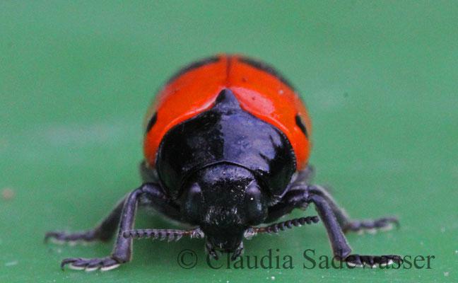 Ameisen-Blattkäfer