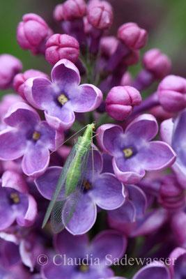 Florfliege auf Fliederblüte