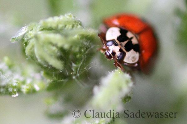 Siebenpunkt-Marienkäfer oder Siebenpunkt (Coccinella septempunctata)