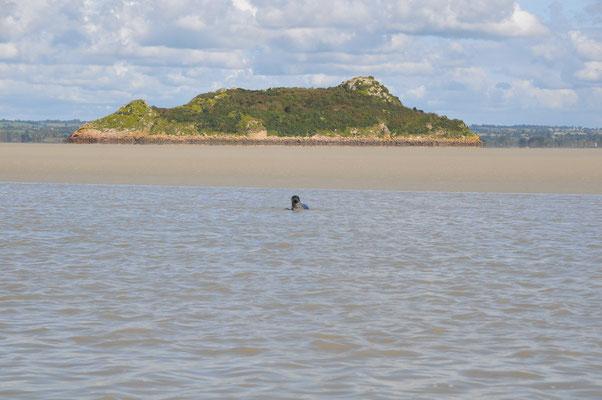un phoque veau marin nommée Tombelaine !