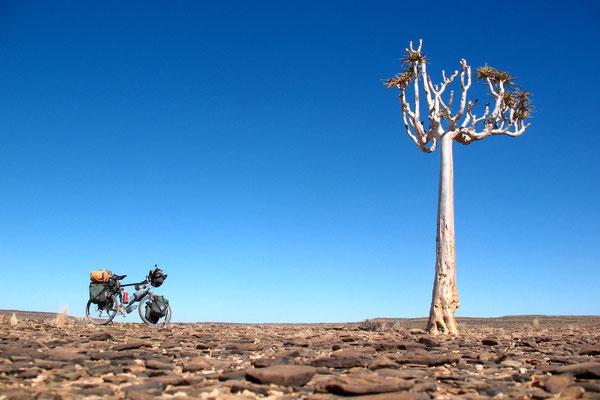 Quiver tree - Kokerboom - Namib Desert