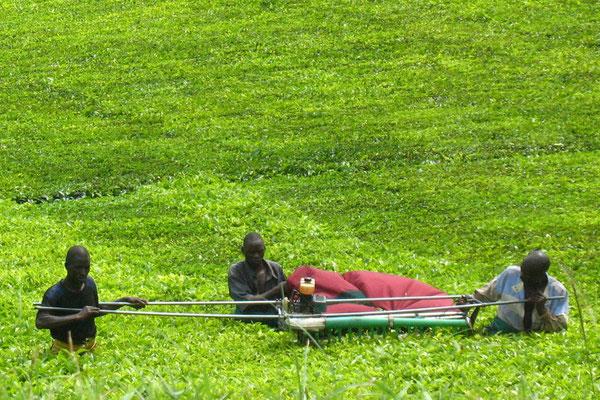 Tea harvest - Bushenyi Province