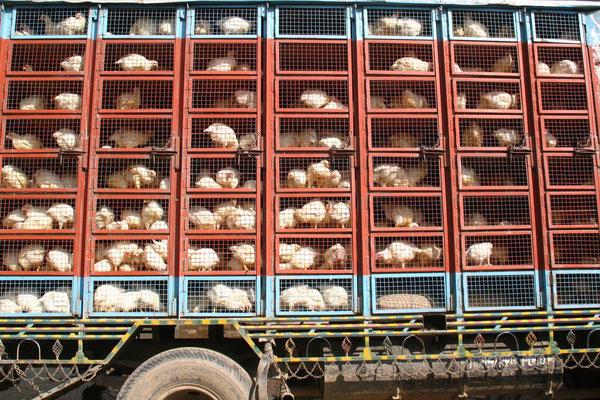 Chicken truck - Sonamarg - Kashmir