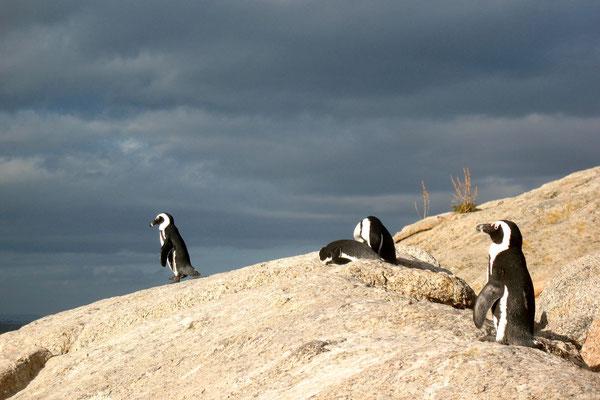 African Penguins - Boulders Beach - Simon´s Town