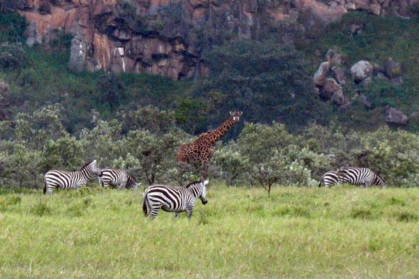 Giraffes and zebras at Hell´s Gate National Park