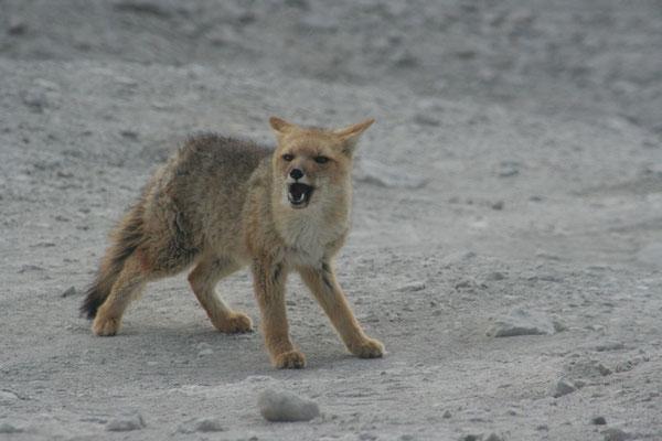 Andean Fox - Laguna Verde