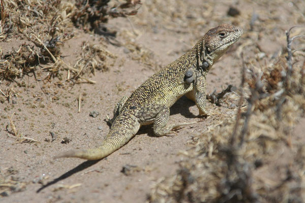 Lizard - Altiplano