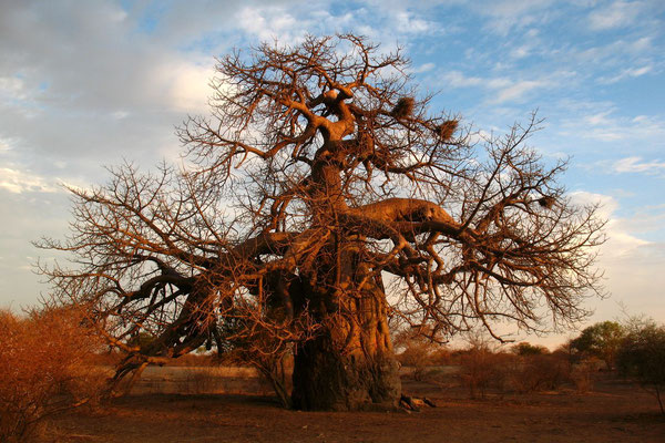 Baobab tree - South of Maun - Kalahari Desert
