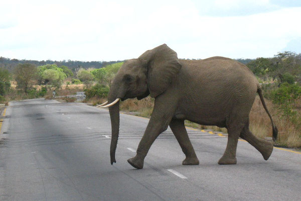 Elephant crossing the road - Mikumi National Park