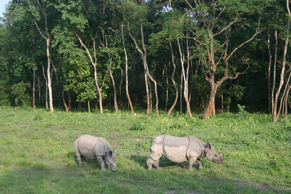 One Horned Indian Rhinos - Royal Chitwan National Park