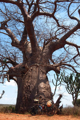 Baobab tree - East Usambara Mountains - Northeastern Tanzania